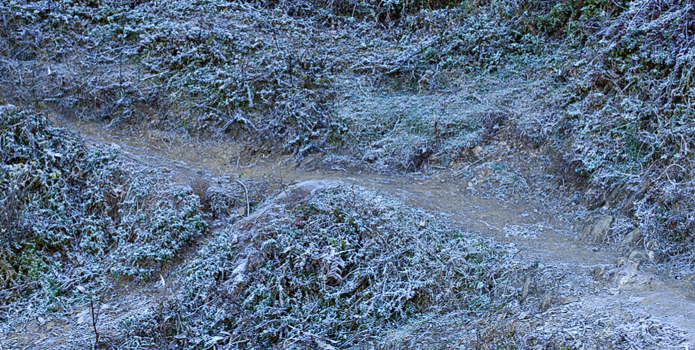 Weeds covered in frost