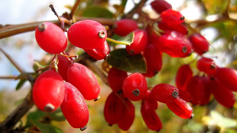 Barberries