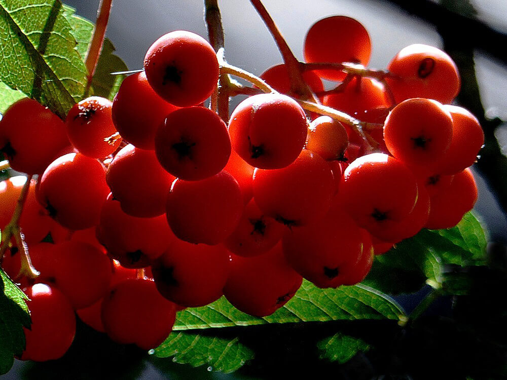 Himalayan Redberries or Ghingaroo