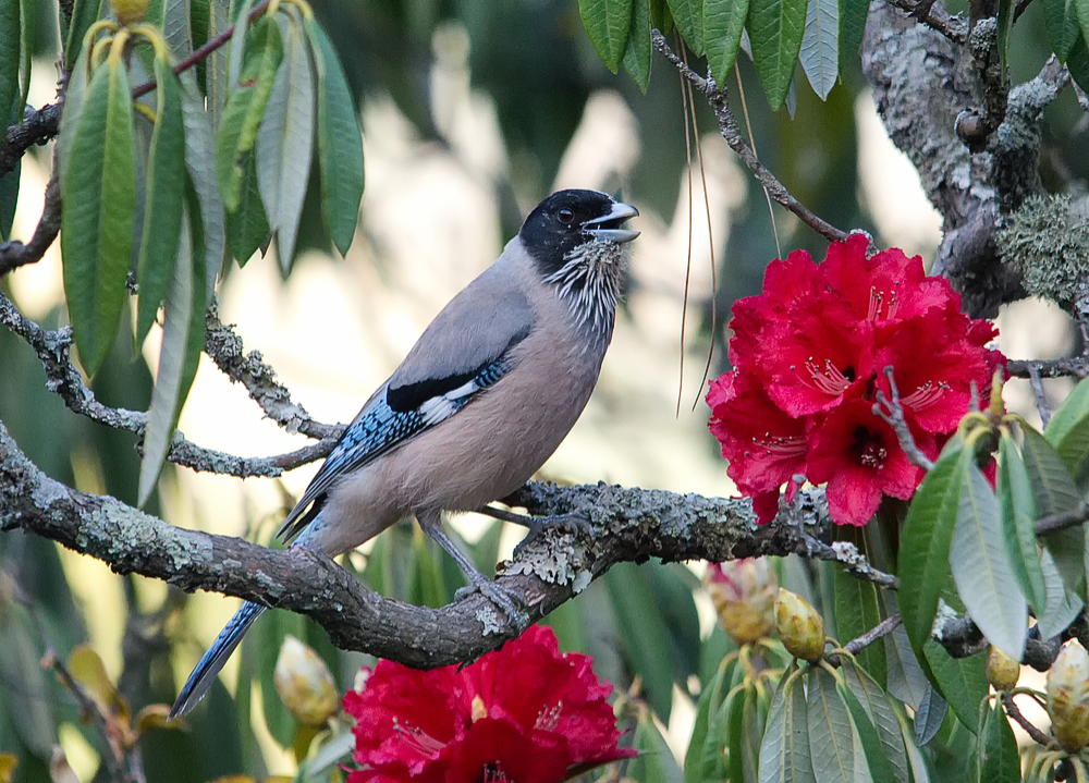 Black-headed Jay and Rhododendron