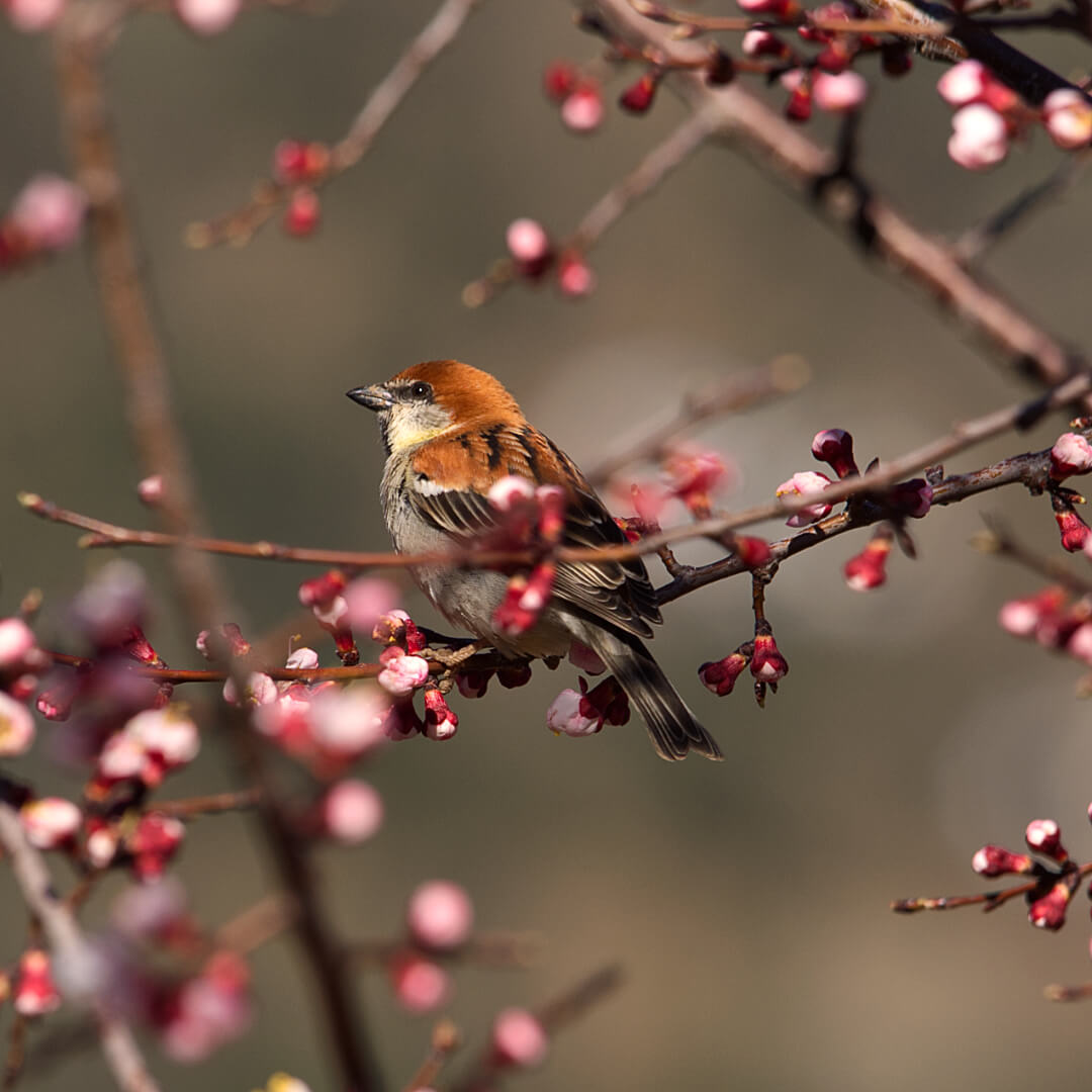 Sparrow on Apricot