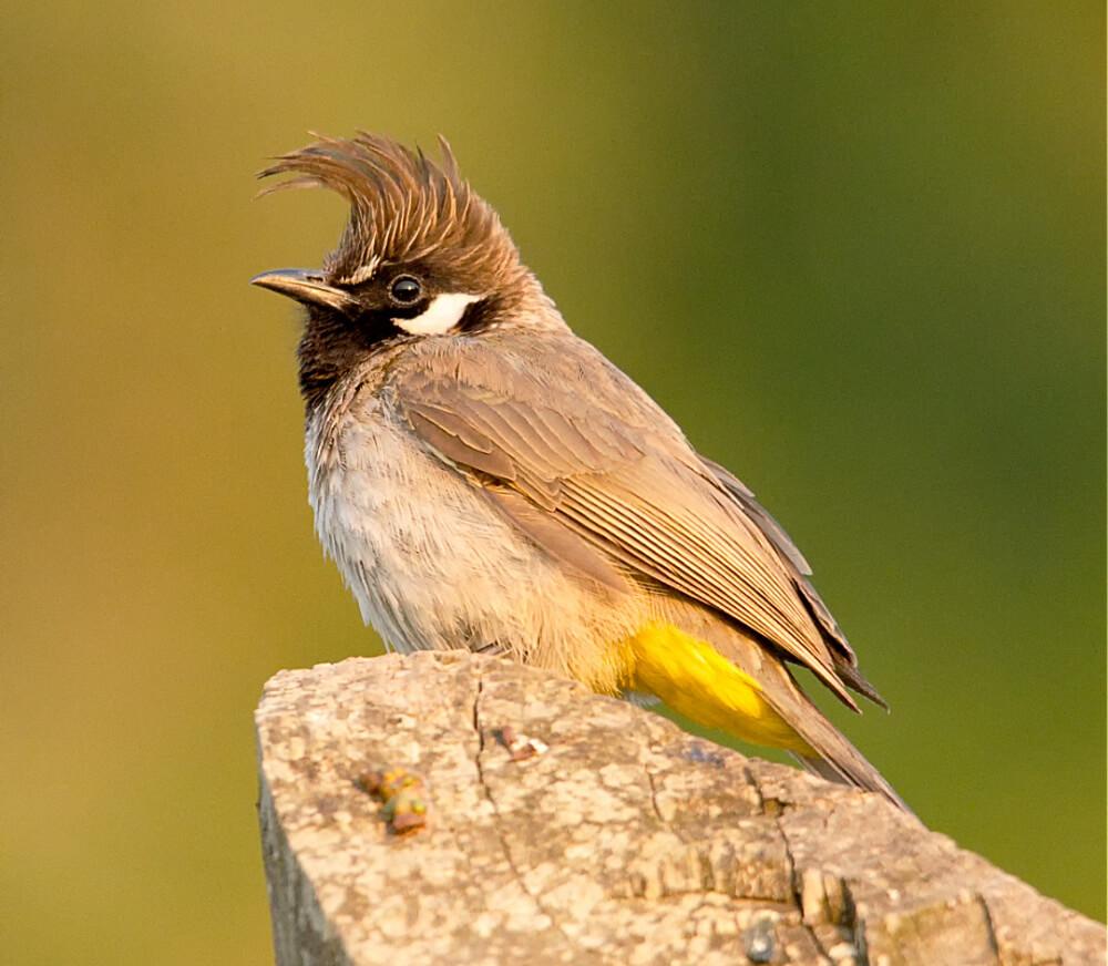 Yellow-vented Himalayan Bulbul
