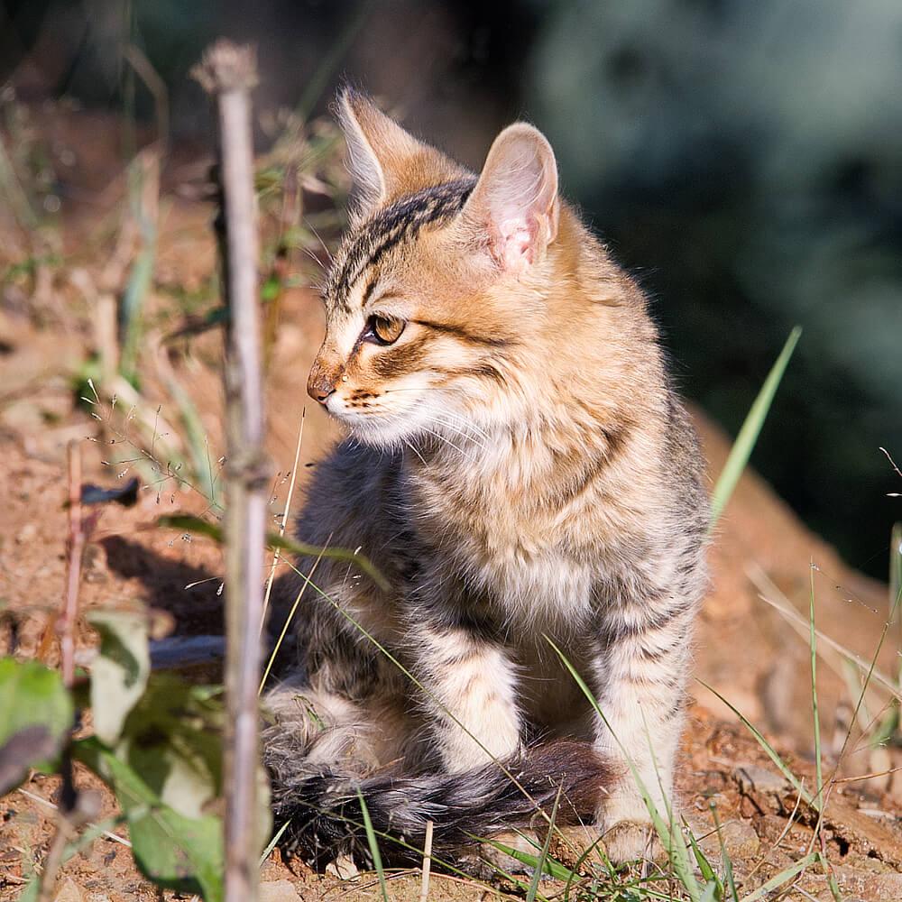 Kitten of a Wild Cat
